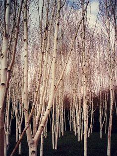 Suggestiva l'immagine di questo bosco... presa dal blog Dana Garden Design