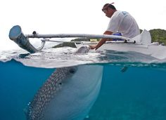 A whale shark approaches a local fisherman to be hand-fed brine shrimp in shallow waters off Oslob, Philippines. Local fisherman display their unusual hand-to-mouth relationship with giant 25ft long whale sharks.
