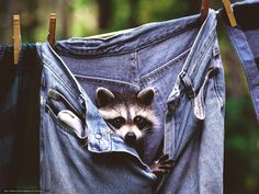 Crazy but Funny Raccoon Pics) Cute Raccoon, Racoon, Raccoon Art, Baby Raccoon, Wild Life, Beautiful Creatures, Animals Beautiful, Wild Animals Photos, Cute Funny Animals