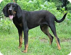 Prattville, AL - Black and Tan Coonhound. Meet Goose 20468, a dog for adoption. http://www.adoptapet.com/pet/10876459-prattville-alabama-black-and-tan-coonhound