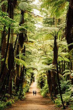 Redwood forest, Rotorua, New Zealand