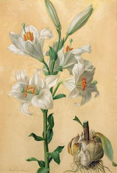 No White Lily Print by Carl Franz Gruber