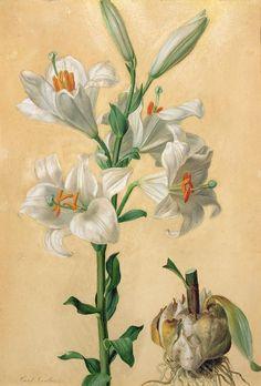 No White Lily Print by Carl Franz Gruber