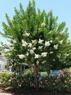 2 x Lagerstroemia indica x 'Natchez' crepe myrtle Crepe Myrtle Landscaping, Landscaping Plants, Outdoor Landscaping, Garden Trees, Trees To Plant, Crepe Myrtle Trees, Landscape Design, Garden Design, Wholesale Plants