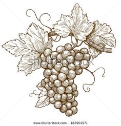 vector illustration of engraving grapes on the branch on white background - stock vector