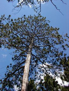 Tall Norway Pine across from our driveway.  It's twin died about ten years ago.