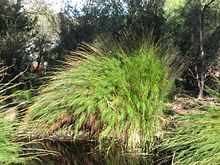 Restio tetraphyllum