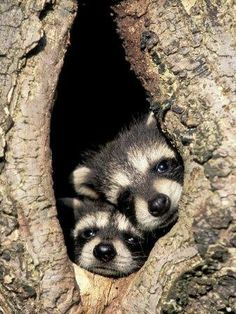 Baby raccoons in tree home