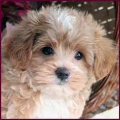 Fauna's Maltipoo, Maltepoo, Maltese Poodle Hybrid Puppies for Sale - Puppy Breeders Specializing in Healthy, Beautiful Mixed Breeds. Cute Small Dogs, Cute Little Puppies, Cute Dogs And Puppies, Cute Little Animals, Baby Dogs, Doggies, Maltese Poodle Puppies, Maltipoo Dog, Havanese Puppies