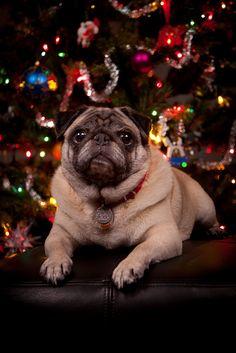 I'm your present - pug.