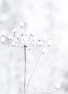 frozen snowy wildflower seedhead #snow #winter #wildflower