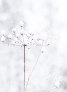 frozen snowy weeds