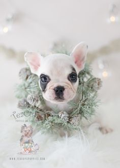 Christmas Puppy: Adorable French Bulldog by TeaCupsPuppies.com #puppy #puppies #frenchie #frenchbullog