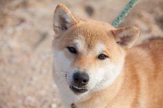 それなりに笑顔 All Types Of Dogs, Corgi, Animals, Corgis, Animales, Animaux, Animal, Animais