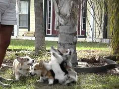 4 Corgi puppies playing with a tree branch!
