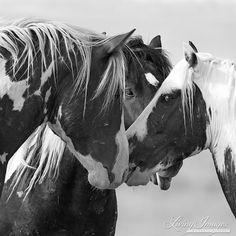 Three Wild Stallions Meet  Fine Art Wild Horse Photograph by Carol Walker www.LivingImagesCJW.com