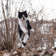 """エース・ストライカー クルル  #僕らの居場所は言わにゃいで  野良っこや外で暮らしている動物たちの穏やかな暮らしに配慮して、撮影場所は非公開です。  Please share this mind. """"I don't publish the location about stray cats and animals for safety of them""""  为了在外生存的流浪猫和其它动物们能够平静的生活,不会公开摄影的场所。  길 고양이나 야외 생활을 하고 있는 동물들의 편안한 생활을 위해(배려해) 촬영 장소는 공개하지 않겠습니다. 길 고양이나 야외 생활을 하고 있는 동물들의 편안한 생활을 위해 촬영 장소는 공개하지 않도록 하겠습니다.  #東京カメラ部 #黒白猫  #のらねこストーキング部  # # # # # #写真好きな人と繋がりたい"""