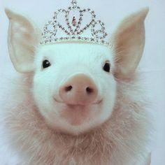 Princess Oink a Doink Cute Baby Pigs, Cute Piglets, This Little Piggy, Little Pigs, Pet Pigs, Guinea Pigs, Happy Animals, Cute Animals, Teacup Pigs