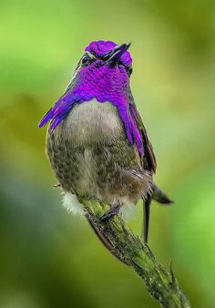 Male Costa's Hummingbird, Wings of the Tropics, Fairchild Tropical Botanic Garden. by pedro lastra**