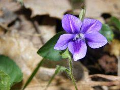 Photo: Violette au cœur sombre