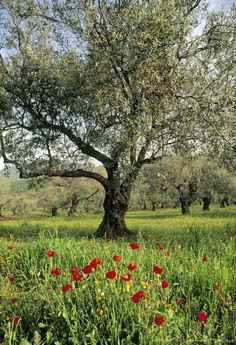 The old olive trees and poppies in Israel.