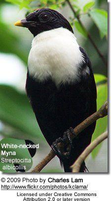 Birds White-necked Mynahs