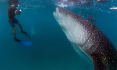 Whale shark in the Maldives -- my dream spot.