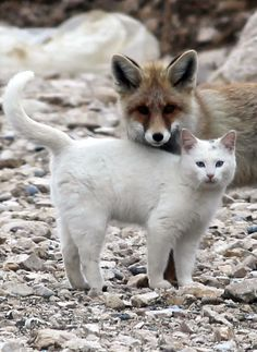 The fox and the Van cat are best friends at Lake Van near Chittor, Turkey • photo: Milliyet Newspaper • story and more pics: http://goodnewsanimal.ru/news/lisa_podruzhilas_s_vanskoj_koshkoj/2012-11-21-2178