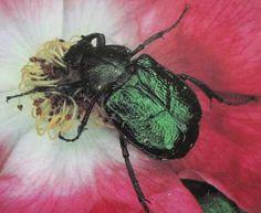 """Autre Cétoine, le """"Gnorimus noble"""" Gnorimus nobilis , environ 20 mm, en régression (photos G.Chauvin)"""