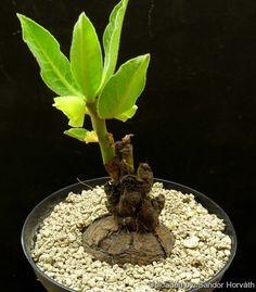 Euphorbia discoidea