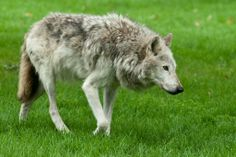Timber Wolf at Longleat Safari Park