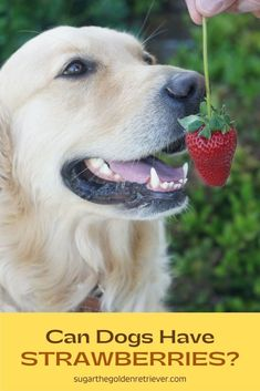 Yes, dogs can eat strawberries. Strawberries are full of fiber and vitamin C. Like any other treat, keep the portion size small and in moderation. #candogseat #strawberriesdogtreats #fruitsfordogs Fruits For Dogs, Can Dogs Eat, Homemade Dog Treats, Dog Treat Recipes, Strawberries, Yummy Treats, Best Dogs, Fiber, Canning