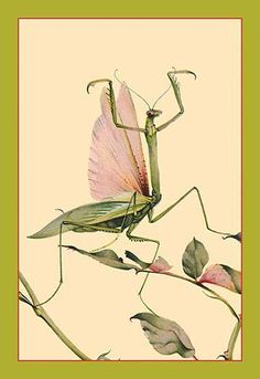 Art Print: The Praying Mantis Poster by Edward Detmold : Cool Insects, Bugs And Insects, Vintage Poster, Vintage Art, Vintage Images, Mantis Tattoo, Illustrator, Poster Art, Beautiful Bugs