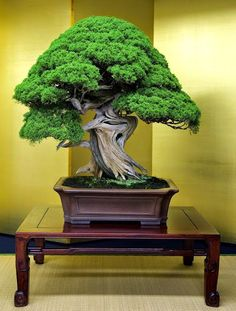 High-class Bonsai…