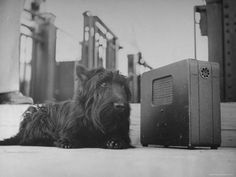 Fala, FDR's Scottish Terrier, listens to the radio.  He has such a wise, sweet face.
