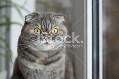 Cat sits on the windowsill. Royalty Free Stock Photo. #cat #pet #animals #ネコ #猫 #고양이 #Kat #Kucing #قط# قطه