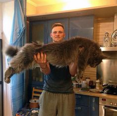 Big cat!メインクーン(Maine Coon)