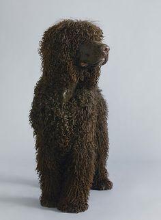 Irish water spaniel - endangered breed Credit: Dan Burn-Forti for the Observer I