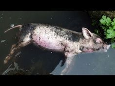 http://china.mycityportal.net - Xi Jinping's Russia Visit, Dead Ducks Join Pigs in Rivers - NTD China News, March 22, 2013 - #china