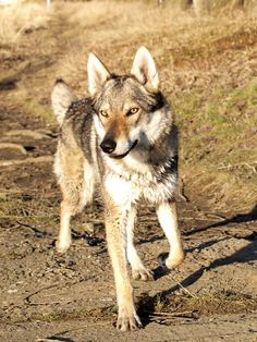 Aunt Polly by tayanita on DeviantArt Pet Wolf, Wolf Husky, Beautiful Dogs, Animals Beautiful, Wolf Dog Breeds, Czechoslovakian Wolfdog, Dog Anatomy, Dog Poses, Different Dogs