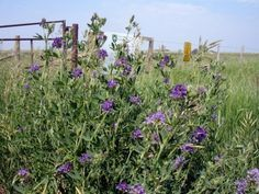 Alfalfa is a cool-season perennial commonly grown for feeding livestock or as a cover crop and soil conditioner. #Alfalfa