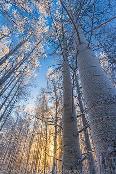 Grove of Quaking aspen trees, winter boreal forest, Fairbanks, Alaska