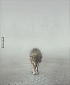 Wolf And Fog
