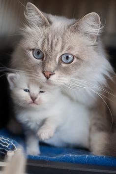 TRZY MAŁE DAMY » Dzika Bestia | Mała Domowa Hodowla Kotów Syberyjskich Neva Masquerade