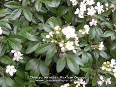 Choisya ternata - Mexican Orange, Mock Orange - YouTube