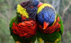 Rainbow Lory, Lorikeets baby for sale Tropical Birds, Exotic Birds, Colorful Birds, Indian Roller, Lilac Breasted Roller, Birds For Sale, Painted Bunting, Indian Blue, Bee Eater