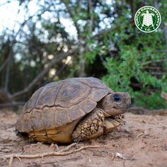 Turtle Conservancy This Argentine Tortoise (Chelonoidis chilensis) may be old and weathered, but it is still quite cute. You can see our documentary about this species on our website!