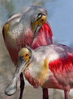 Roseate spoonbill - platalea ajaja/ Pássaros Colhereiros / Chamados assim por causa do bico parecido com uma colher.