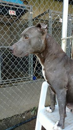 Kennel # 08 - URGENT - LORAIN COUNTY DOG KENNEL in Elyria, Ohio - ADOPT OR FOSTER - Young Female Pit Bull Terrier Mix - Available October 13, 2016
