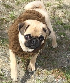 Weekend is almost over. Spent most of it playing and cuddling. Walking Dead tonight; who else is excited? Hope everyone's weekend was great and hope everyone has a great week🤗 #chewbacca #starwars #pugsofinstagram #pugstagram #pugsoftwitter #dogs #dogsofig #dogclothes #dogstagram #dog #dogsofinsta #dogsofinstagram #pug #pugs #puppy #puggle #puglife #pugsofig #pugsofinstaworld #walkingdead #thewalkingdead